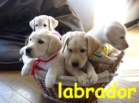 Vendita cuccioli di Bulldog, Bouledogue francese, Labrador, Golden, Cocker